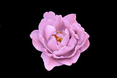 Pink rose. On a black background isolated Stock Photos