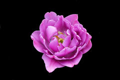 Pink rose. On a black background isolated Royalty Free Stock Photography
