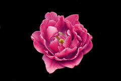Pink rose. On a black background isolated Stock Image