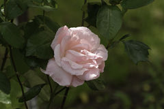 Pink Rose in a blink of the sun. Almost smiling royalty free stock images