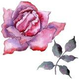 pink rose Blom- botanisk blomma Lös isolerad vårbladvildblomma Royaltyfri Fotografi