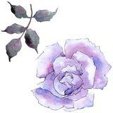 pink rose Blom- botanisk blomma Lös isolerad vårbladvildblomma Arkivbilder