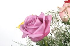Pink rose in bloom Royalty Free Stock Photos
