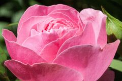 Pink rose bloom Stock Photos