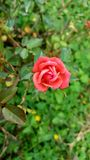 Peach rose in bloom Royalty Free Stock Images