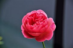 Pink rose in bloom Royalty Free Stock Photo