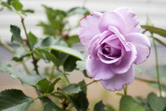 Pink Rose. In bloom, in sharp focus against blurry background stock photography