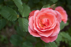 Pink Rose. In bloom, in sharp focus against blurry background stock image
