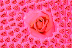 Pink Rose Blooming Royalty Free Stock Photo