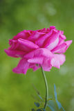 Pink Rose Blooming Against Green Background Stock Photo