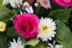 pink rose blooming Stock Image