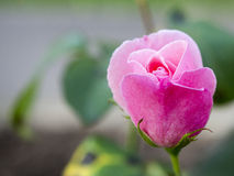 Pink rose blooming Stock Photography