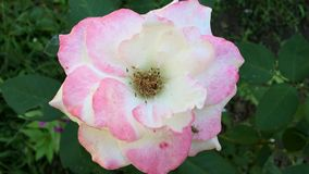 Pink rose blooming in a garden stock video footage