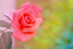 Pink rose blooming. Stock Photos