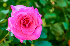 A pink rose blooming in the sun. Stock Photo