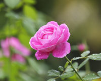 Pink Rose Blooming with water drop Royalty Free Stock Photo