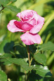 Pink rose blooms in the garden. Royalty Free Stock Photography