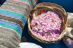 Pink rose blossom in basket. During the rose picking season in Kazanlak, Bulgaria Stock Photo
