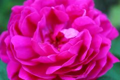 Pink, Rose, Blossom, Bloom, Plant Stock Photo