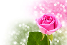Pink rose blossom Stock Image