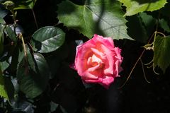Pink rose blossom and grape leaves. Close up Stock Photography