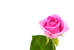 Pink rose blossom Royalty Free Stock Photos