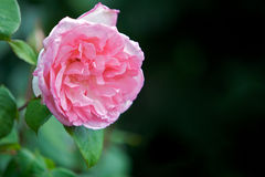 Pink rose blossoms in a garden