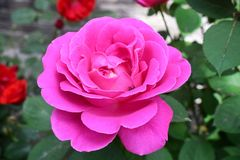 A pink rose blossoms and an insect hiding between the petals stock photos