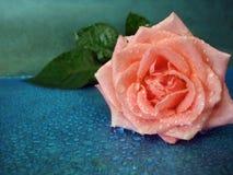 Pink rose on blue background Stock Image