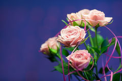 Pink rose with blue blurry background. Pink rose with blue background Royalty Free Stock Photo