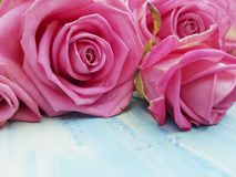 Pink rose on a blue wooden background beauty. Space dayn Royalty Free Stock Image