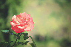 Pink rose blurry background Stock Images