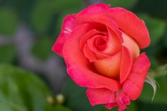 Pink rose on blurry green background. Pink rose on blurry green leaf background royalty free stock images