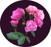 Pink rose bouquet on dark lilac Royalty Free Stock Photography