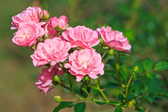 A pink rose bouquet Royalty Free Stock Photos