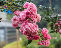 Pink Rose. Bouquet in valentine Royalty Free Stock Photos