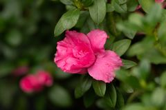 Pink rose on a branch in close up stock photo