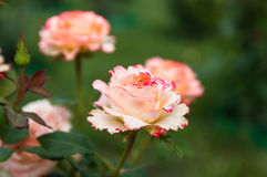 Pink rose on the branch in garden. Beautiful pink summer season garden roses with bud Stock Photo