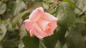 Pink rose in the breeze Royalty Free Stock Photo