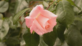 Pink rose in the breeze stock video