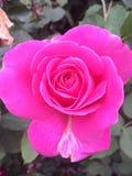 Pink rose. Bright pink rose Stock Photo