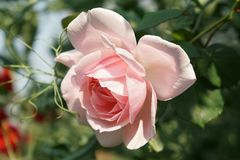 Pink rose. Bright and lovely rose Royalty Free Stock Photography