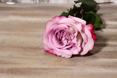 A pink Rose Royalty Free Stock Image