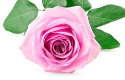 Pink rose bud. On white background royalty free stock images