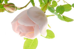 Pink rose and bud Stock Photos