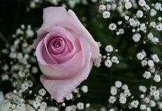 Pink Rose bud beginning to bloom Stock Photos