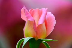 PINK ROSE BUD. BLOOMING ROSE WITH PINK BACKGROUND Royalty Free Stock Photography
