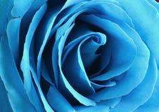 Blue rose bud close-up. Rose petals.  stock photos