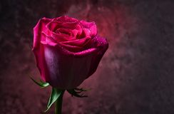 Pink rose bud in dew drops on a dark background of a concrete wall. Romantic evening. Mystical red light.  stock images
