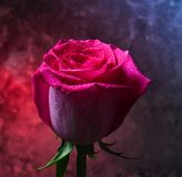 Pink rose bud in dew drops on a dark background of a concrete wall. Romantic evening. Mystical red light.  royalty free stock photography